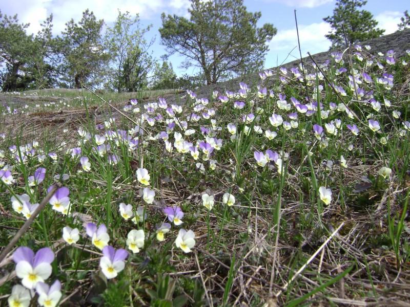 Ryssbergen0430-violer